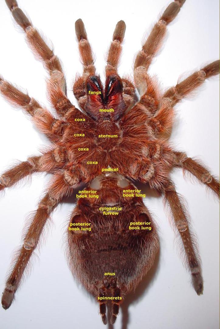 giantspiders.com - Anatomy