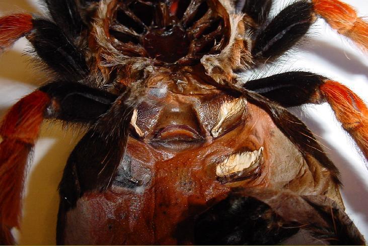 Tarantula sex organ